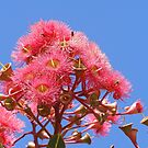 Brilliant Eucalyptus -ficifolia- flowers against blue sky.  by Rita Blom