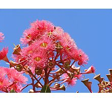 Brilliant Eucalyptus -ficifolia- flowers against blue sky.  Photographic Print