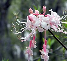 Wild Azalea in the Wild by Warren  Thompson