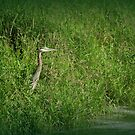 Great Blue Heron at edge of Trojan pond, near Goble, Oregon 2 by Dawna Morton