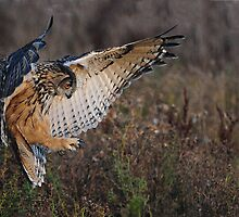 "Eagle Owl ""In for the kill"" by Phiggys"