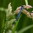 Common Blue Damselfly by Violaman