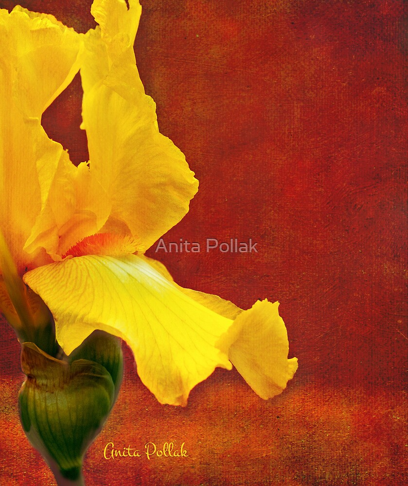 Flamenco Iris by Anita Pollak