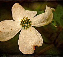 Dogwood by Lois  Bryan