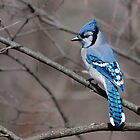 Blue Jay by (Tallow) Dave  Van de Laar
