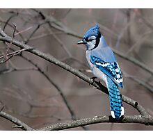 Blue Jay Photographic Print
