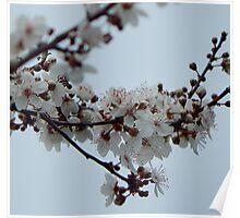 Spring Blossom Grey Sky Poster
