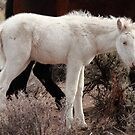 Rare Wild White Foal Close up by SB  Sullivan