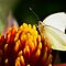 Southern White Butterfly  by Saija  Lehtonen