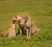 Cheetah Love by Catherine Ames