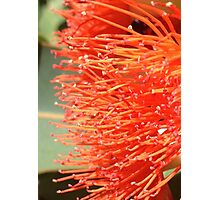 Native Australian Shrub Photographic Print