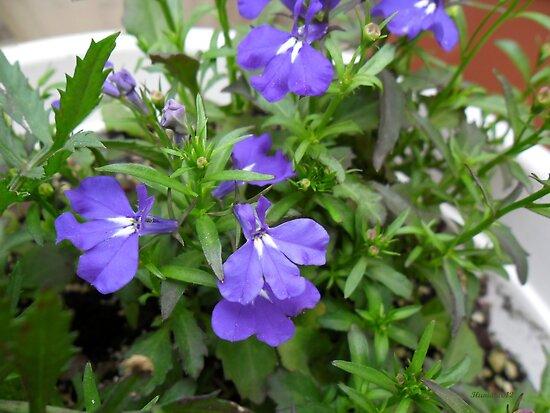 Lobelia Plant by Ilunia Felczer