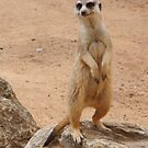 Meerkat by fab2can