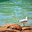 Seagull  by Tammy Howe