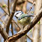British Blue Tit by Lisa Marie Robinson