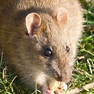 European Brown Rat by Lisa Marie Robinson