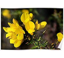 Yellow Gorse ~ Charmouth, Dorset Poster