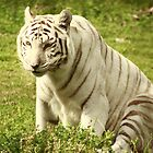White Tiger  by mhm710