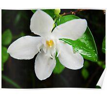 White Jasmine Poster