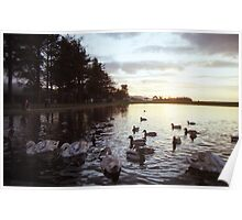 Cygnets at sunset Poster