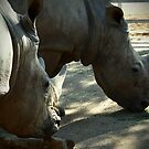 Rhinoceroses by fab2can