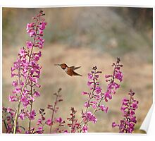 My First Rufous this Year 2 Poster