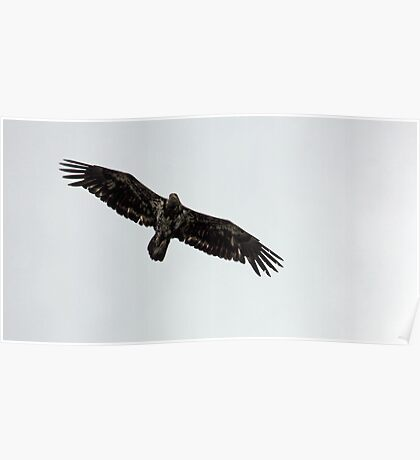 Young Adult Bald Eagle Poster