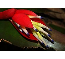 Sultry bromeliad bloom Photographic Print