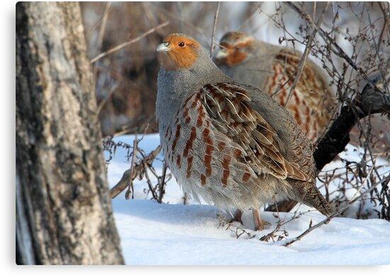 Habitat / Gray Partridge by Gary Fairhead