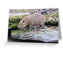 Baby Capybara Greeting Card