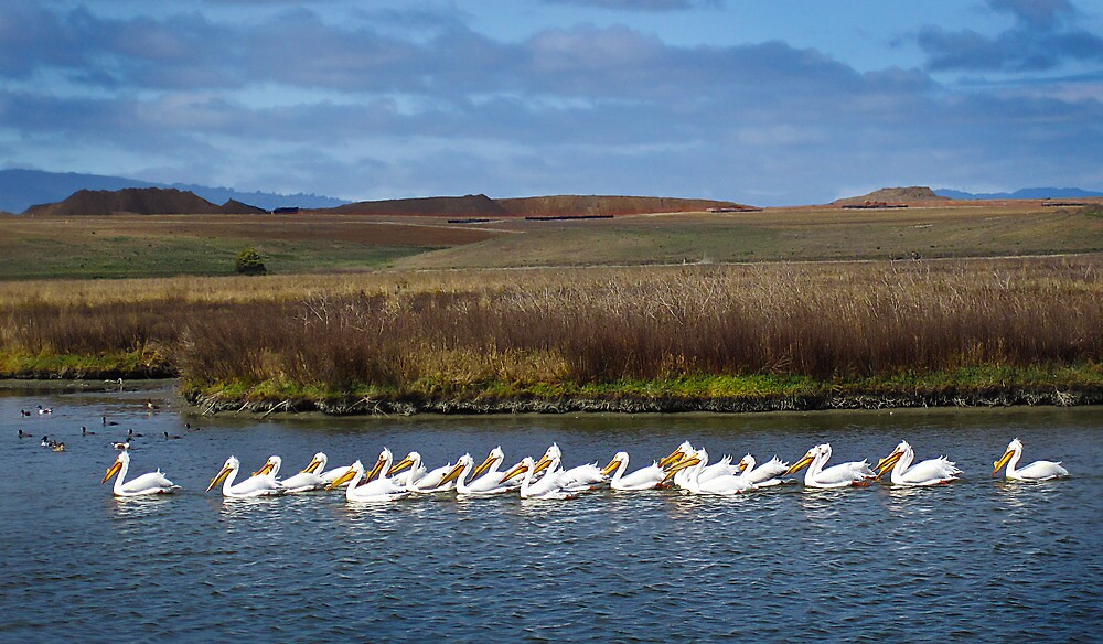 white pelicans in the Baylands by David Chesluk