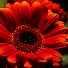 Closeup of Gerbera by karina5