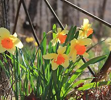 Country Daffodils by Carolyn Wright
