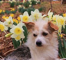 Decker Dog, loves springtime, and the Daffodils! by Carolyn Wright