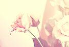 Dreamy Rose... by Carol Knudsen