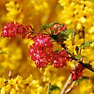 Red flower in flowering forsythia shrub by Magdalena Warmuz-Dent