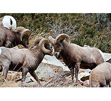 BigHorn Sheep 2 Photographic Print