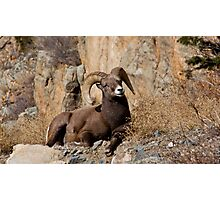Bighorn sheep 3 Photographic Print