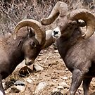 Bighorn sheep 4 by jeff welton