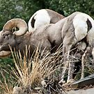 bighorn Sheep 5 by jeff welton