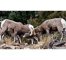 bighorn Sheep 7 Photographic Print