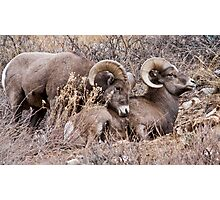 Bighorn Sheep 9 Photographic Print