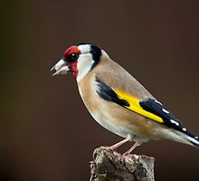 Goldfinch (Carduelis carduelis) by MickBourke