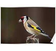 Goldfinch (Carduelis carduelis) Poster