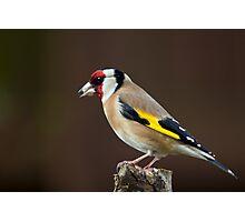 Goldfinch (Carduelis carduelis) Photographic Print