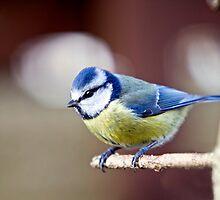 Blue Tit (Parus caeruleus). by MickBourke