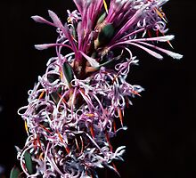 Proteaceae – Isopogon or Petrophile Pink white florets nr Denmark Australia198208280043  by Fred Mitchell