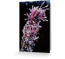 Proteaceae – Isopogon or Petrophile Pink white florets nr Denmark Australia 19820828 0043  Greeting Card