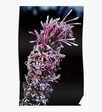 Proteaceae – Isopogon or Petrophile Pink white florets nr Denmark Australia 19820828 0043  Poster