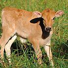 Our Calf that was born two days ago. Cedar Creek, Queensland, Australia. by Ralph de Zilva